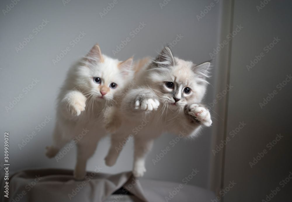 Fototapeta two cute playful ragdoll kittens jumping simultaneously flying in the air playing