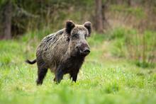 Alert Male Wild Boar, Sus Scro...