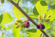 Mulberry Branch With Ripening Mulberries At Summer Sunny Day. Limited Depth Of Field.