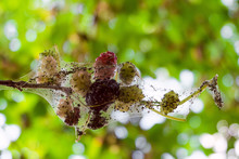 Mulberry Berries In A Web Of Caterpillars Of An American White Butterfly. Limited Depth Of Field.