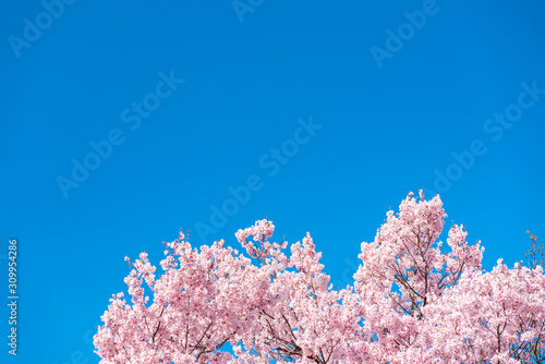 Fototapety, obrazy: Cherry blossom (sakura) with birds under the blue sky in the Shinjuku Gyo-en Park in Tokyo of Japan. A good place for vocation in spring.