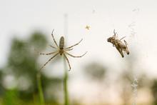 Argiope Bruennichi Spider With...