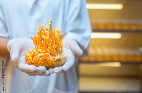 Photo Ophiocordyceps sinensis,Cordyceps militaris is a species of fungus in the bottle at control temperature room, and the type species of the genus Cordyceps