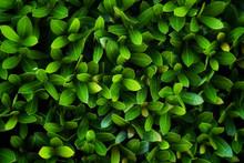 Full Frame, Sharp Green Leaves...