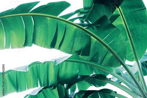 Obraz Tropical green leaves pattern on white background, lush foliage of banana palm leaves the tropic plant. - fototapety do salonu