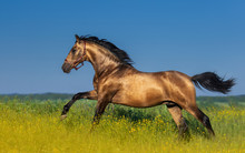 Golden Bay Andalusian Horse In...