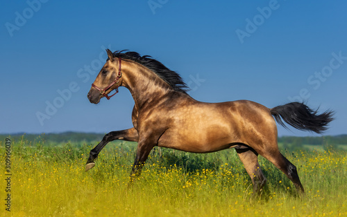 Fototapeta Golden bay Andalusian horse in blooming meadow. obraz
