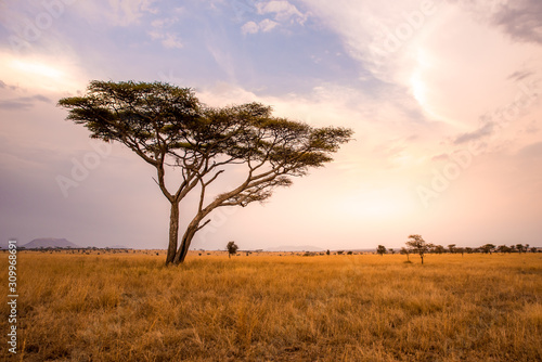 Panoramic image of a lonely acacia tree in Savannah in Serengeti National Park, Canvas Print