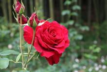 薔薇 ばら