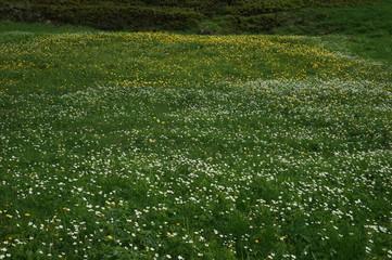 スイスアルプスの花畑