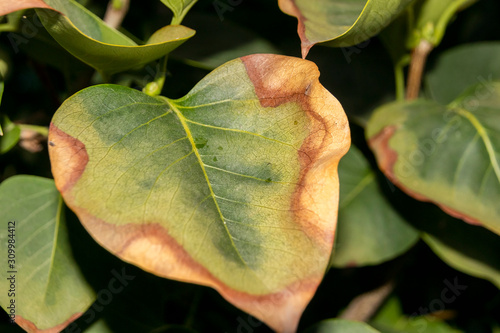 Leaf scorch of a cultivar common lilac (Syringa vulgaris L Wallpaper Mural
