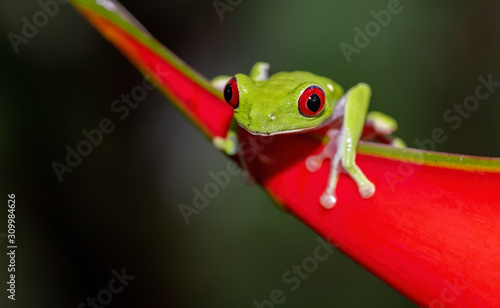 Photo Red-eyed tree frog in Costa Rica