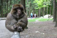 Berber Monkey In Affenberg Salem, Germany
