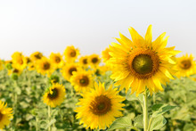 Beautiful Sunflower Field On Summer With White Sky