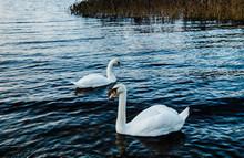 Swan On Lake In Ireland