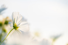 Closed Up Macro, Beautiful White Cosmos Flowers Under Sunlight In The Garden With Copy Space, Blurred Background, Natural Concept