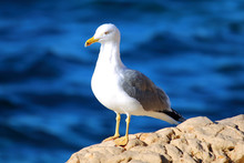 Seagull On The Rocks With The Sea In The Background