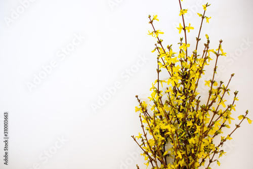 Bunch of fresh forsythia over white background Canvas Print