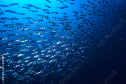 lot of small fish in the sea under water / fish colony, fishing, ocean wildlife Poster Mural XXL