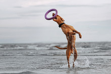 Happy Vizsla Dog Jumps Up From Water To Catch A Toy