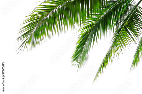 Fototapeta liście   tropical-beach-coconut-palm-tree-leaves-isolated-on-white-background-green-palm-fronds-layout-for-summer-and-tropical-nature-concepts