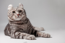 American Curl Cat Silver Tabby...