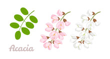 Sprigs Of Blooming Acacia And Green Leaves Isolated On White Background. Acacia Flowers Pink, White. Vector Floral Illustration In Cartoon Simple Flat Style.