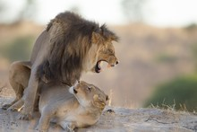 Lion And The Lioness Playing O...