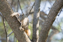 Eastern Fox Squirrel Perched On Tree Branch Eating Nuts.