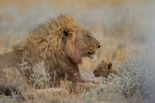 Magnificent Lion And His Baby ...