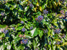 Black Berries Of Colchis Ivy With Green Leaves On An Autumn Day.