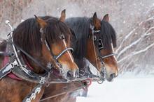 Horse Sled Portrait