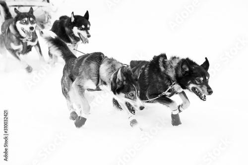 dog, husky, animal, snow, pet, sled, winter, malamute, white, canine, portrait, Wallpaper Mural