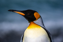 The King Penguin, The Second-l...