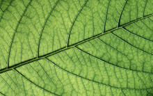 Green Leaf Texture, Close-up. ...