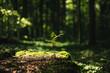 Leinwandbild Motiv Young rowan tree seedling grow from old stump in Poland forest.