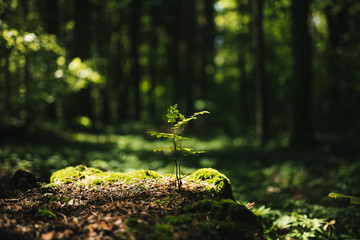 Young rowan tree seedling grow from old stump in Poland forest.