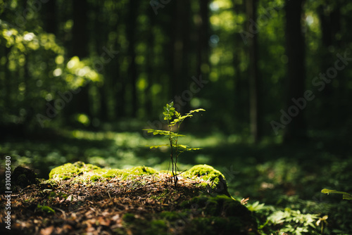 Young rowan tree seedling grow from old stump in Poland forest. Canvas-taulu