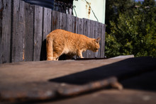A Red Cat Walks On An Old Surface In Front Of A Fence Made Of Wooden Planks On A Farm. Sunny Summer Day With Fur Animal.