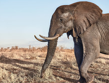 African Elephant With Big Tusk...