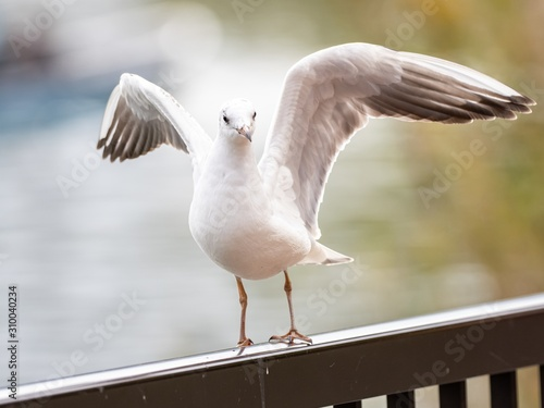 Fotografie, Tablou  Cute white European herring gull getting ready to fly in the middle of the park