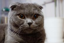 Cute Scottish Fold Cat With Am...
