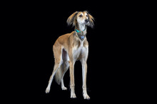 Lurcher On Black Background