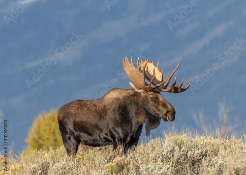 Bull Moose in Fall in Grand Teton National Park Fototapeta