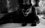 Fototapeta Sawanna - Beautiful black panther. Big cat. Animal world.