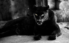 Beautiful Black Panther. Big C...