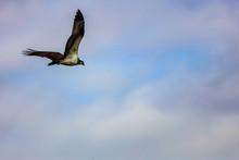 飛翔するミサゴ