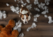 Bad Dog. Jack Russell Terrier Vomits, Spoils A Soft Toy. Educating Pet.