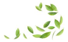 Fresh Green Citrus Leaves On White Background
