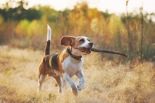 Happy Beagle Dog With Stick In...